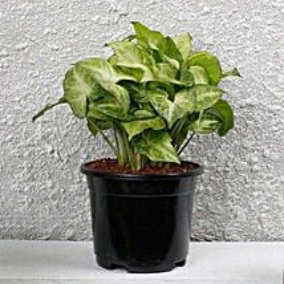 Syngonium White Plant In Black Pot: Spiritual and Vastu Plants