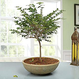 Traditional Elaichi Nimbu Bonsai Plant: Herbs & Medicinal Plants