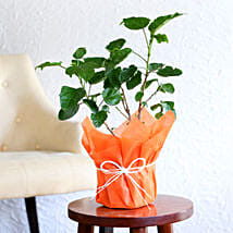 Tropical Hibiscus Plant: Impressive Gifts. Amazing Prices