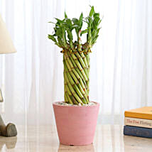 Wheel Bamboo In Pink Recycled Plastic Pot: Lucky Bamboo Plants