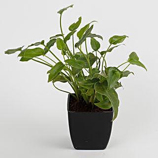 Xanadu Philodendron Plant in Black Imported Plastic Pot: Buy Indoor Plants