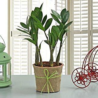 Zamia Plant: Medicinal Plant
