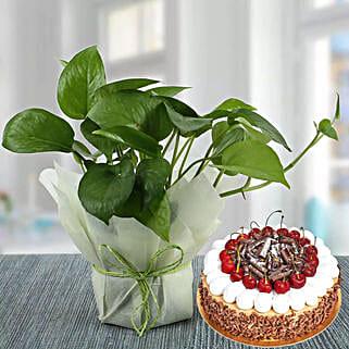 Money Plant and Blackforest Cake Combo: Buy Plants in Dubai, UAE