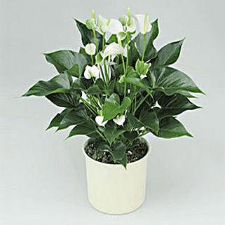 White Anthurium Plant: Indoor Plants in UAE